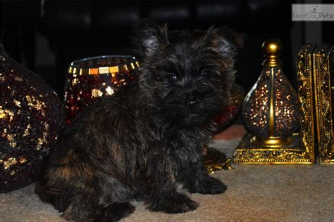 Black And Silver: Cairn Terrier puppy for sale near Salem