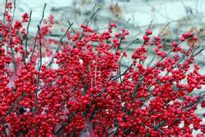 Colorful plants for Michigan in the winter - MSU Extension
