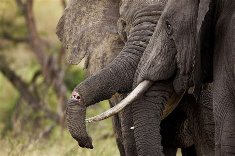 DNA From Elephant Dung, Tusks Reveals Poaching Hot Spots
