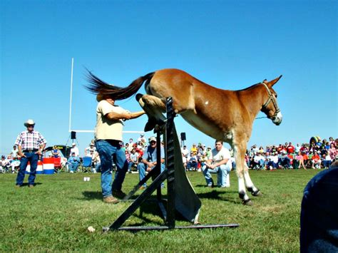 Mules Can Jump! All About Arkansas Mules - Only In Arkansas