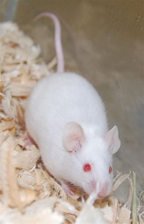 Mouse for adoption - White Mouse, a Mouse in Brooklyn, NY