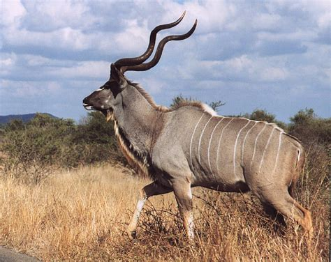 Game Hunt Species KZN-Limpopo-Mozambique Trophy hunting