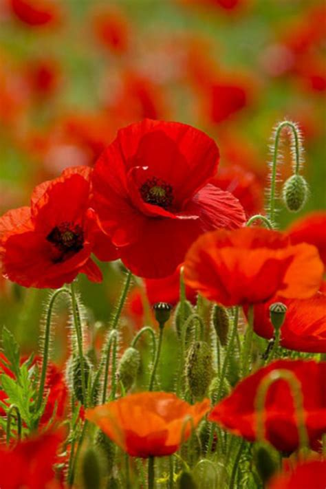 1951 best Poppies images on Pinterest | Poppies, Beautiful