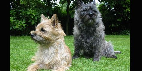 Cairn Terriers, The Oldest Terrier - DoggyZoo