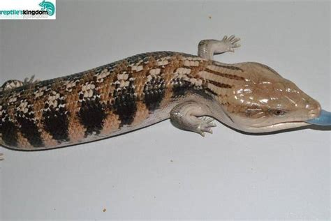 Northern Blue Tongue Skink SOLD FOR SALE ADOPTION from