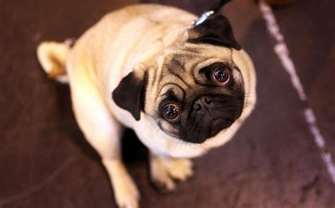 Vets call for healthier breeding standards for Pugs and
