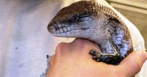 The Zoo Review: Species Fact Profile: Blue-Tongued Skink