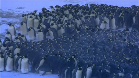 Emperor Penguins keep warm in an ever-shifting huddle