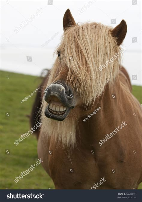 A Horse Exhibits The Flehmen Response By Curling Up His