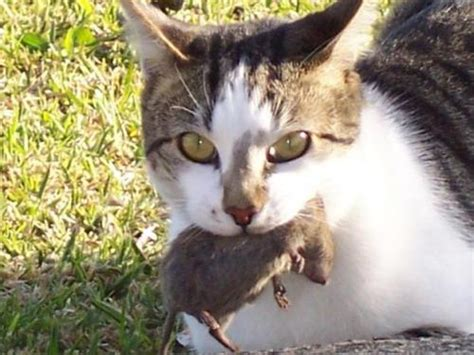 Cat for adoption - Mouser/Ratter Cat, a Domestic Short