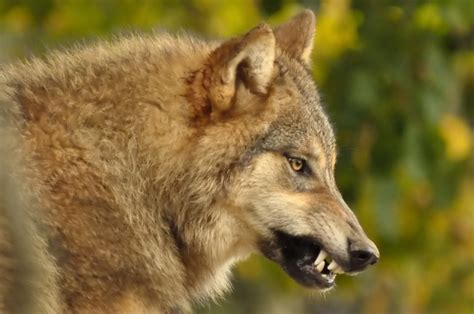 Growling Wolf   Flickr - Photo Sharing!